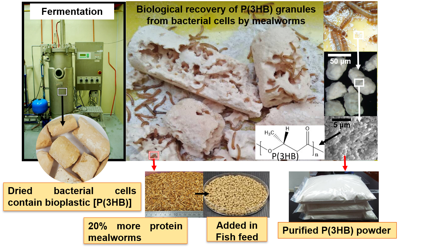 Simultaneous production/recovery of Polyhydroxyalkanoates (PHA) and protein-rich mealworms for Aquaculture feed formulation